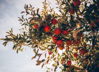 Jabłoń na tle nieba