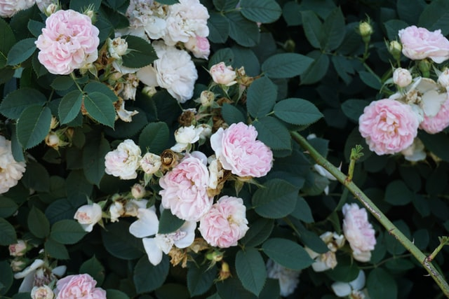 Jasnoróżowe róże