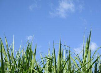 Zielona trawa na tle nieba.