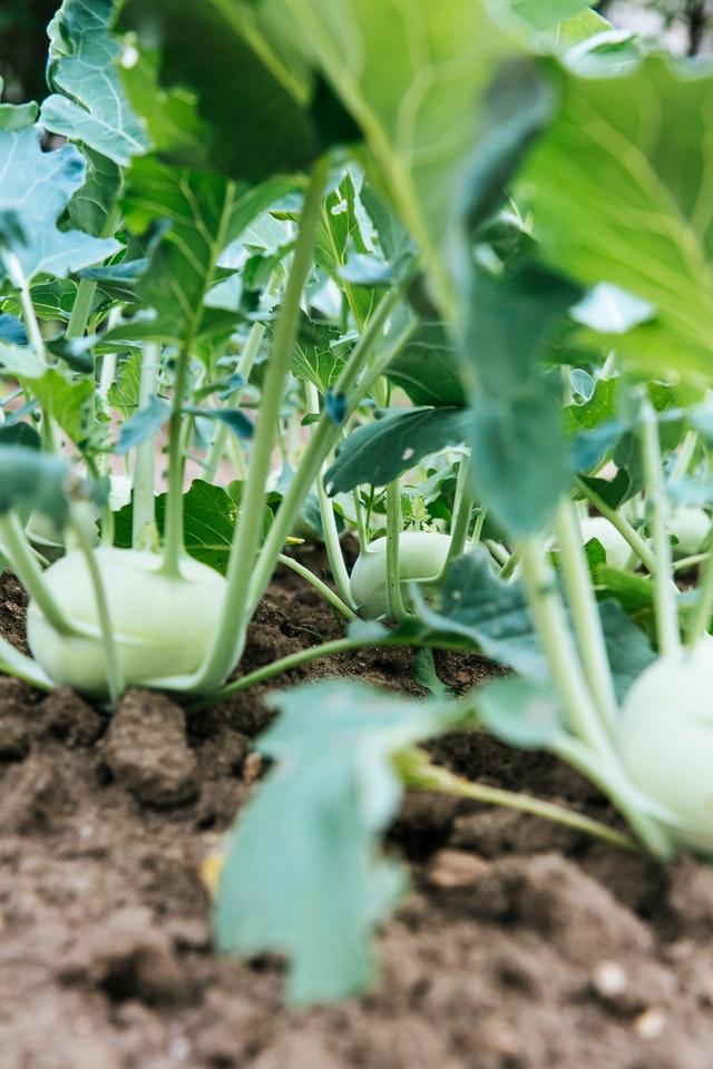 Warzywa w ogródku warzywnym